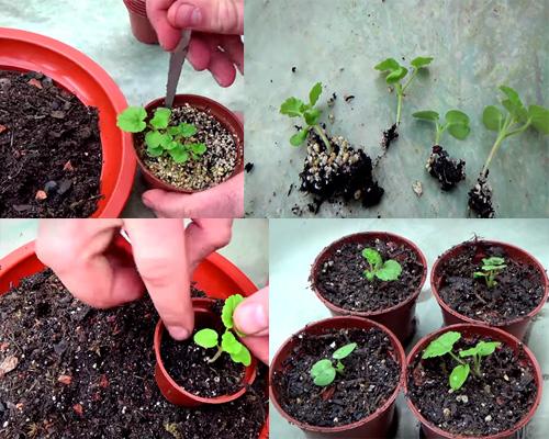 Пеларгония выращивание из семян с фото 56
