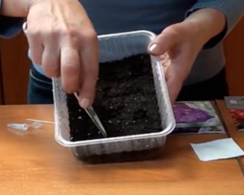 Возможно ли размножение герани листьями
