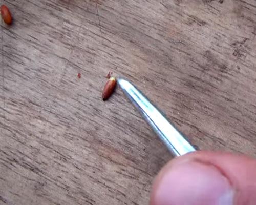 повреждаем кожуру семечки