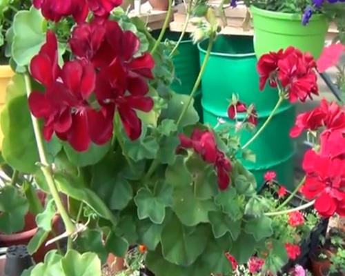 Как вырастить герань из семян