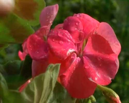 почему у герани могут сохнуть и желтеть листья