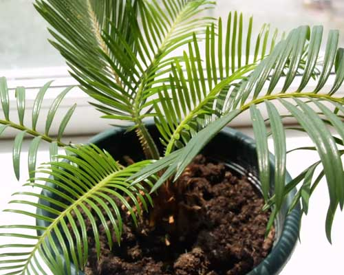 пальма-цикас