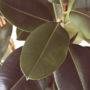 Цветок фикус: можно ли держать дома. Приметы и суеверия