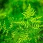 Цветок аспарагус перистый-можно ли держать дома