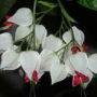 Цветок клеродендрум уход и размножение в домашних условиях