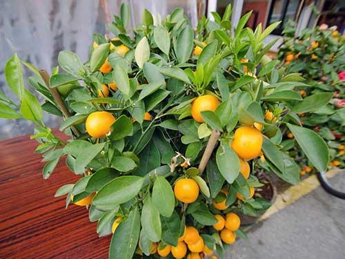 citrusovie-rastenij