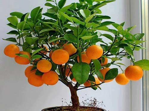 citrusovie-rastenij2