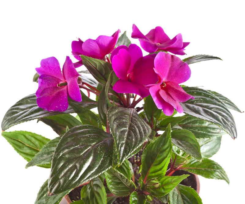 Цветок бальзамин комнатный