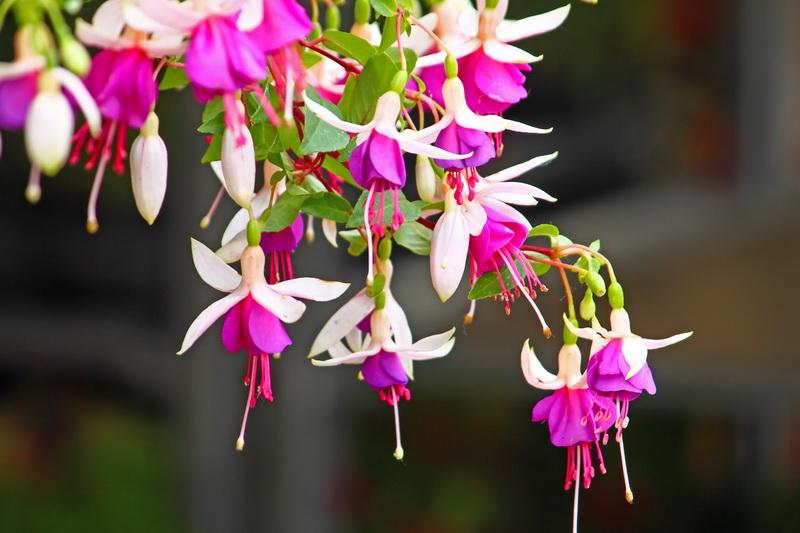 Комнатный цветок фуксия и его удивительные свойства