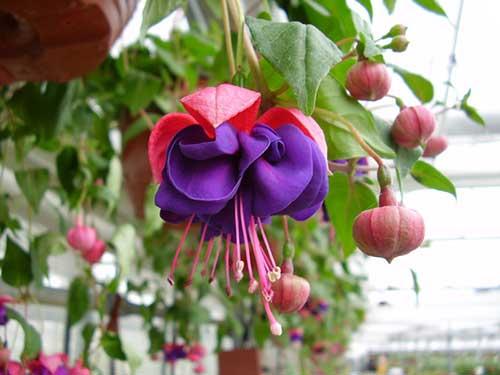 фуксия цветок уход