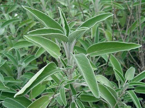 какие лечебные свойства имеет трава шалфей