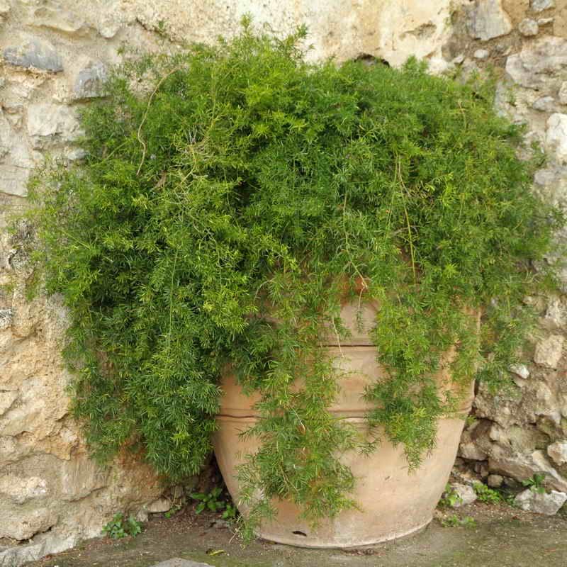 Растения подходящие знаку зодиаку Близнецы по гороскопу