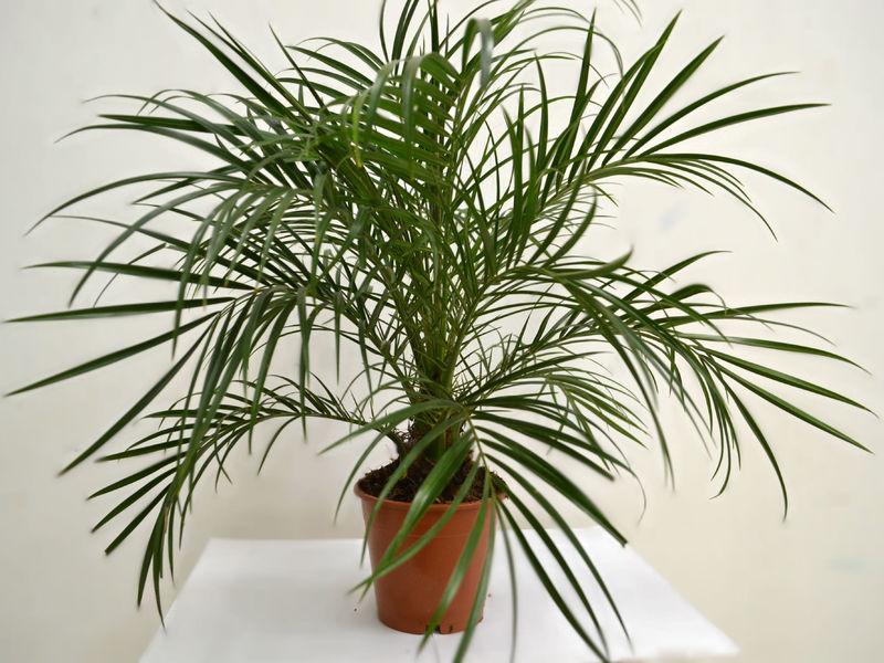 Перистые пальмы