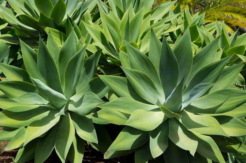 Агава американская (Agave americana): описание и уход