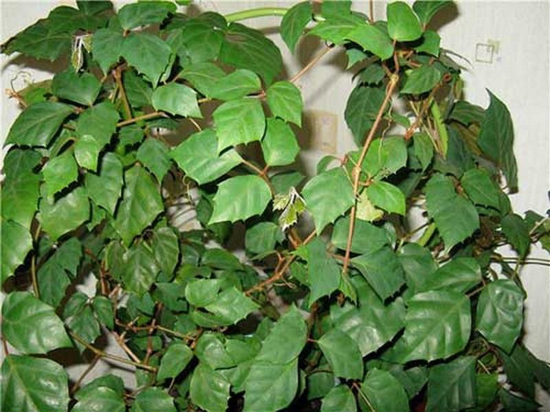 Роициссус ромбический (цветок березка)