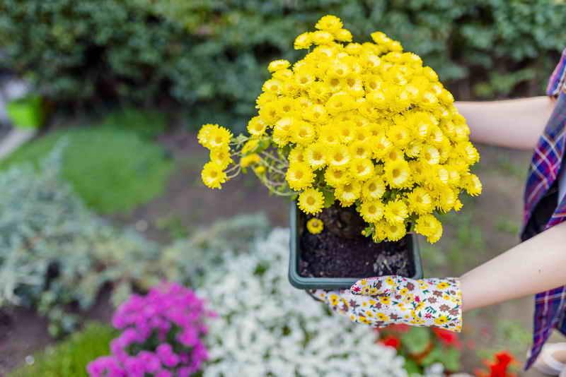 Хризантема комнатная и ее уникальные свойства