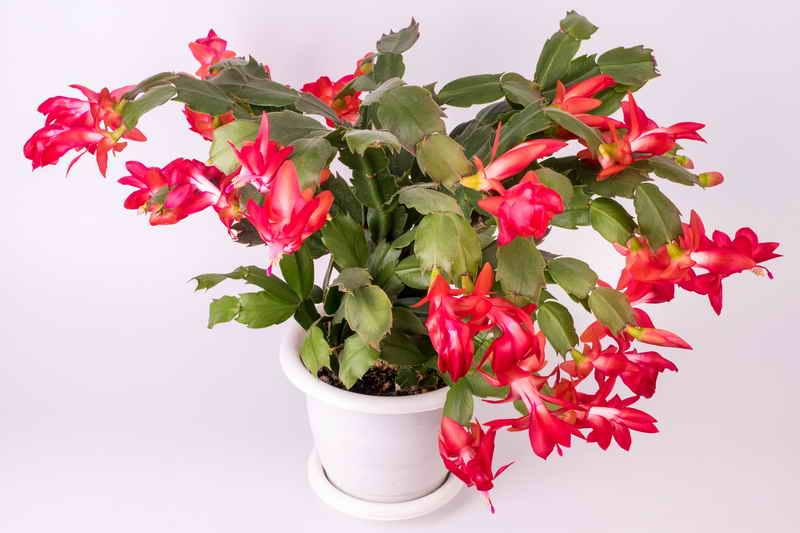Растения для знака зодиака Весы