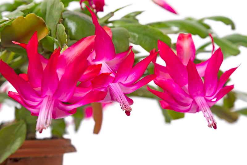 Очень добрый цветок - декабрист