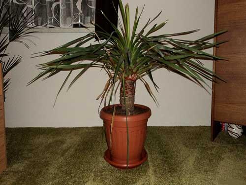 пальма драцена дракон