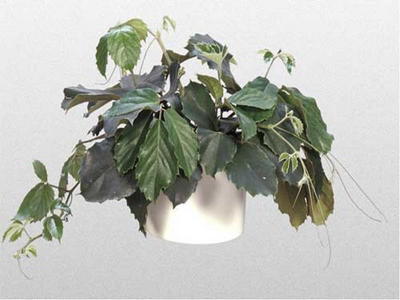 Комнатный виноград (Тетрастигма Вуанье) удивительные свойства