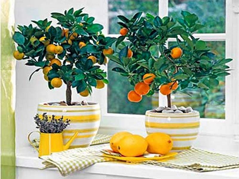 Комнатный лимон и его энергетическая польза