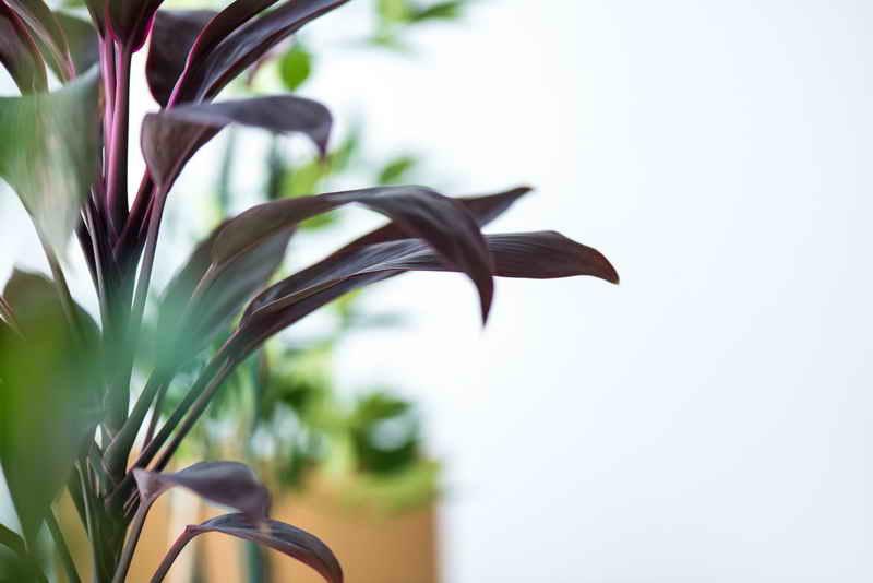 Что нам несет тещин язык цветок (Сансевиерия)