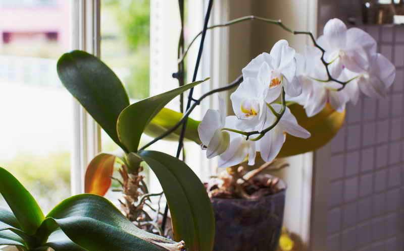 Орхидея в домашних условиях