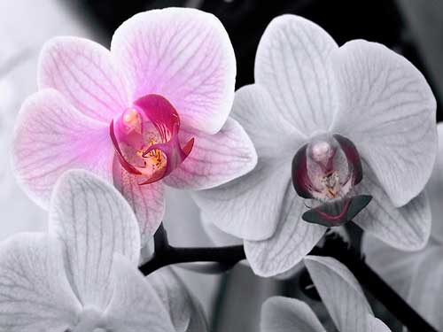 orhidej1