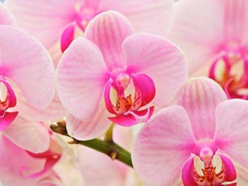 orhidej2