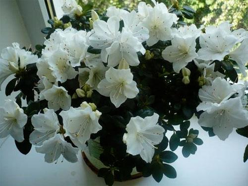 в каком уходе нуждаются цветы азалии