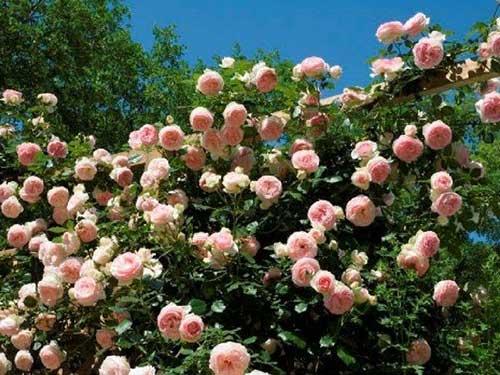 как правильно посадить плетистую розу на даче