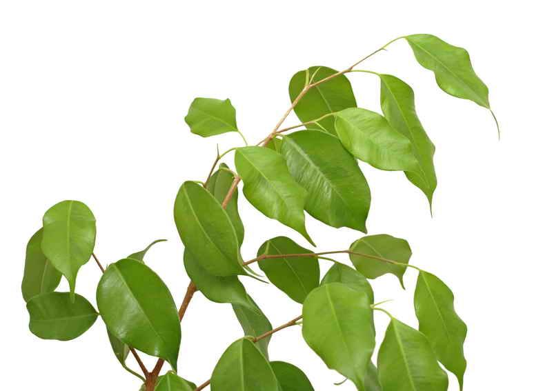 Почему фикус бенджамина сбрасывает листья