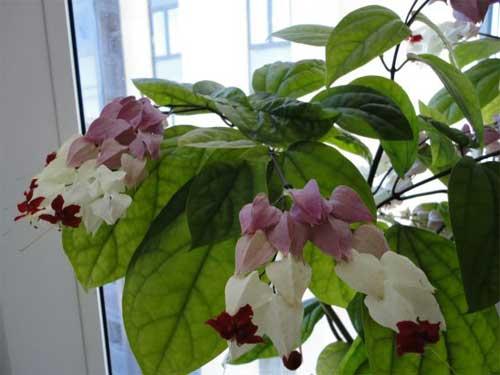 как происходит размножение клеродендрума в домашних условиях