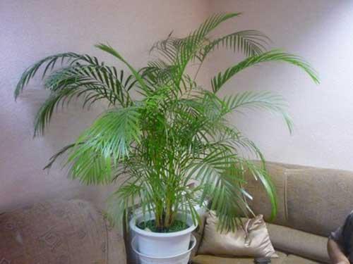 уход в домашних условиях за моей любимой пальмой ховея