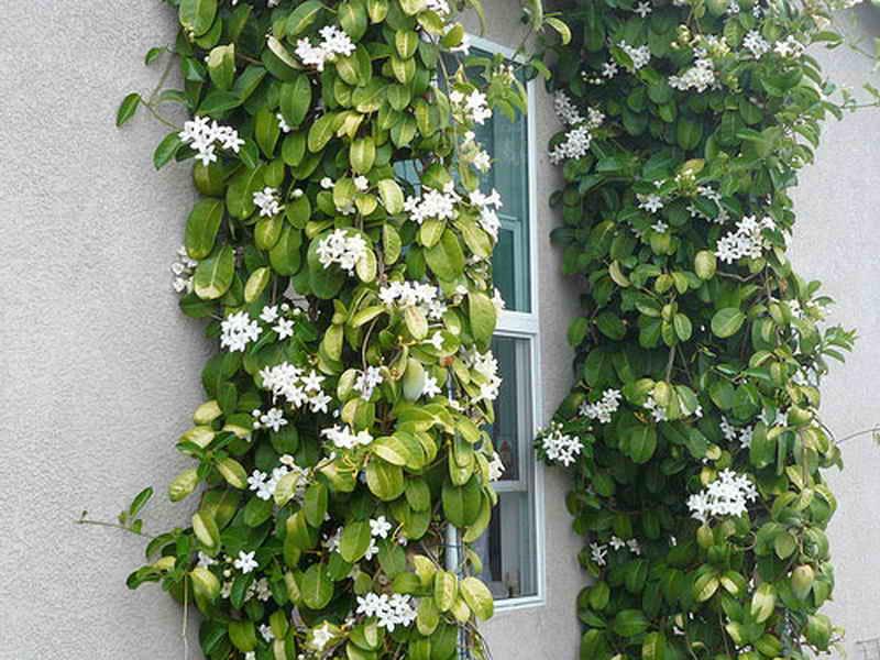 цветок стефанотис уход