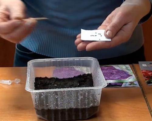 Как размножить герань семенами и черенками