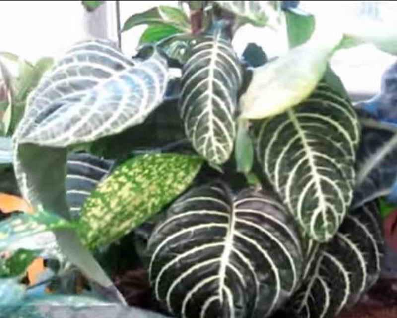 Цветок алоказия -уход в домашних условиях, пересадка и размножение