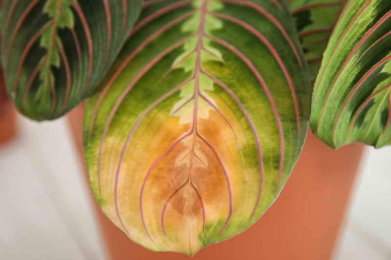 Цветок маранта уход и размножение в домашних условиях
