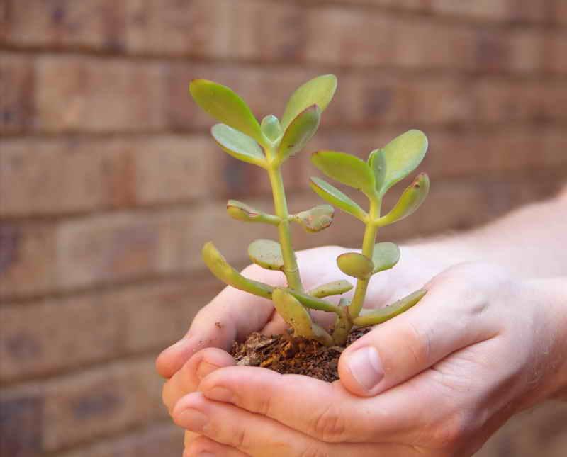Денежное дерево: уход, приметы и суеверия