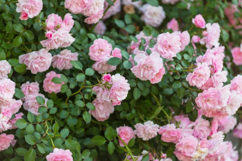 Морозоустойчивые и неприхотливые – канадские розы