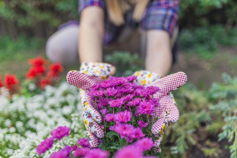 Почему хризантемы не цветут в открытом грунте как ускорить процесс