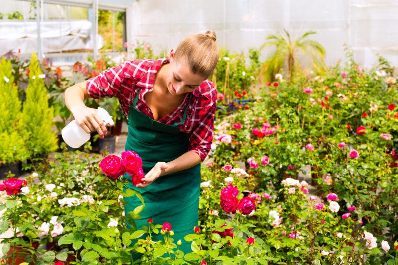 Отличный метод омоложения роз содой