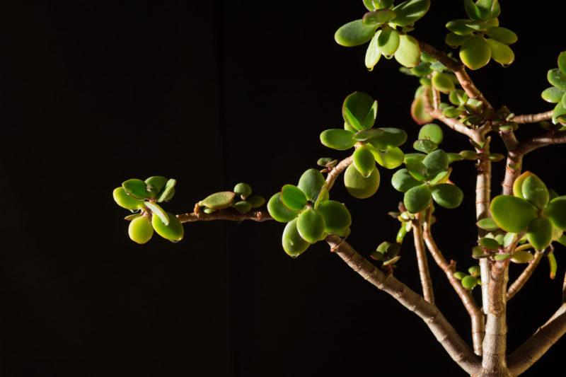 Зачем прищипывать денежное дерево и как правильно это делается