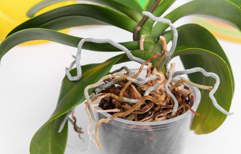 Корни орхидеи вылезли из горшка: что делать