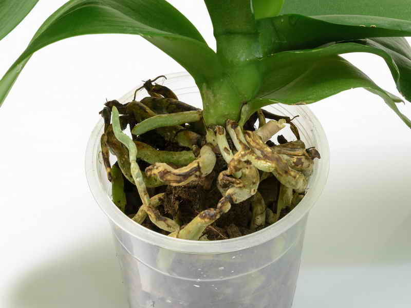 Почему у орхидеи корни сохнут и выглядывают из горшка? Сигнал, что пора принимать меры