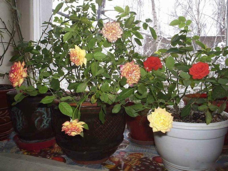 Как ухаживать за комнатной розой, чтобы она цвела круглый год