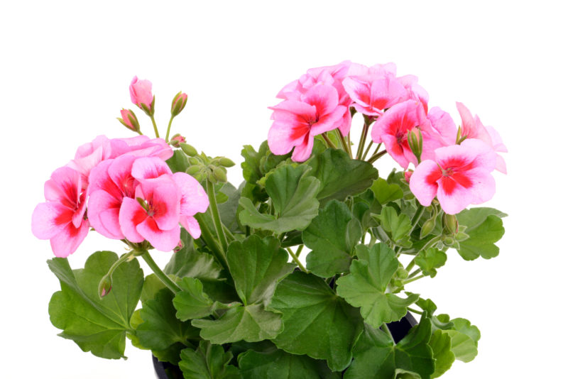 Аптечка на подоконнике: 7 растений, которые лечат