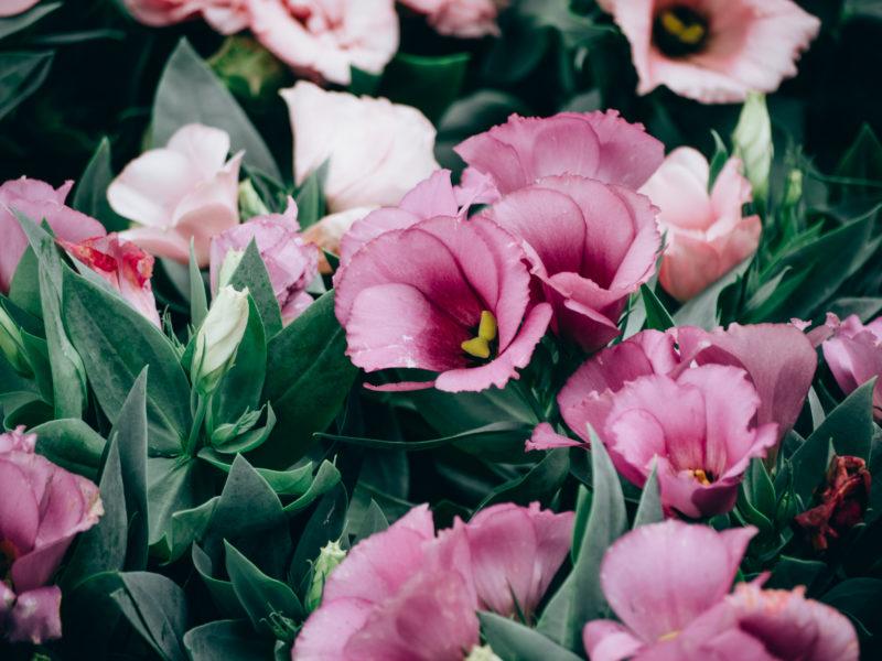 Неприхотливый соперник эустомы для Сада: охотно цветет, а ухаживать проще