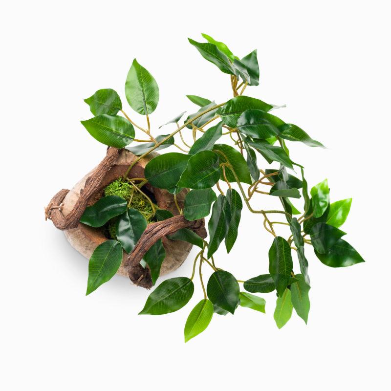 Почему у фикуса Бенджамина опадают листья? Простые советы, как сохранить богатую крону