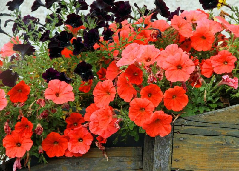 В середине лета пора омолодить петунию, чтобы пышно цвела до осени